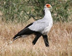 Madikwe Secretary Bird